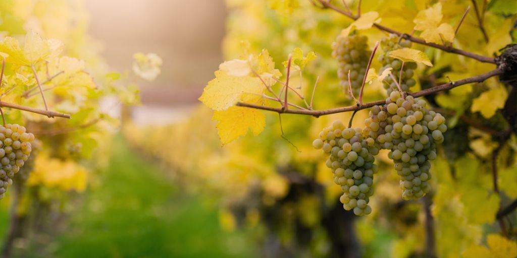 Elaboración vinos blancos