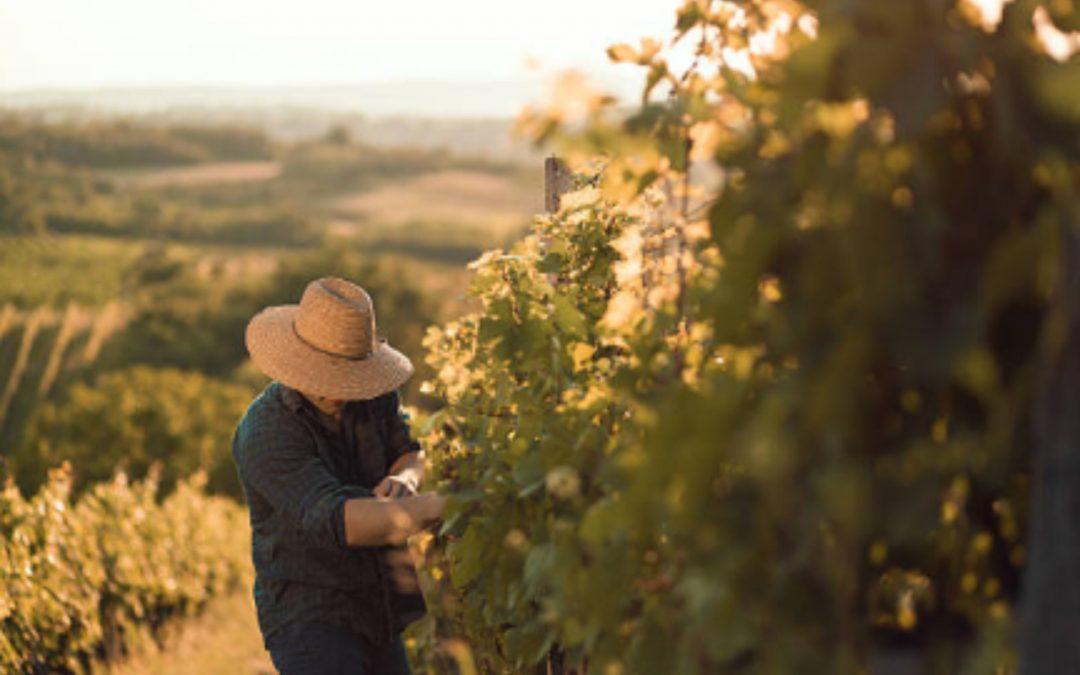 Elaboración del vino y todas sus etapas