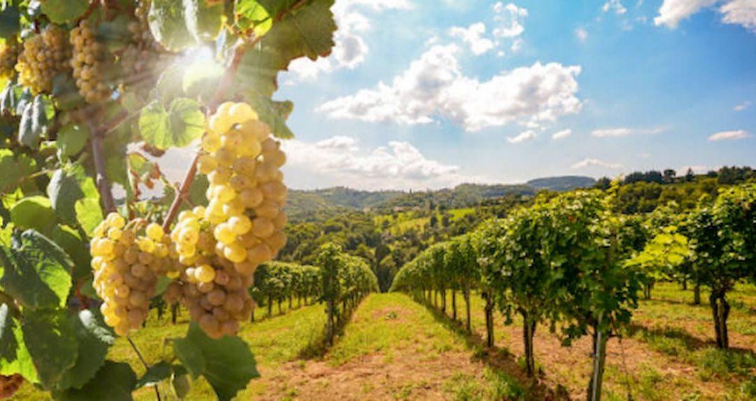 Elaboración del vino blanco y su proceso