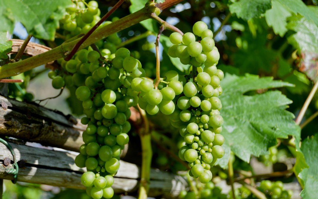 El vino verde portugués con uva albariño