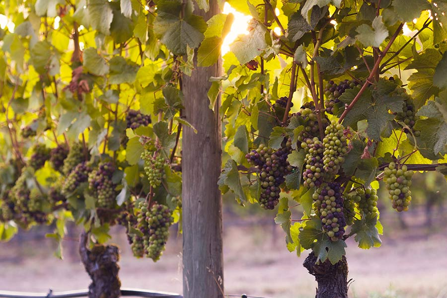 Qué es el envero y su importancia en la maduración de las uvas