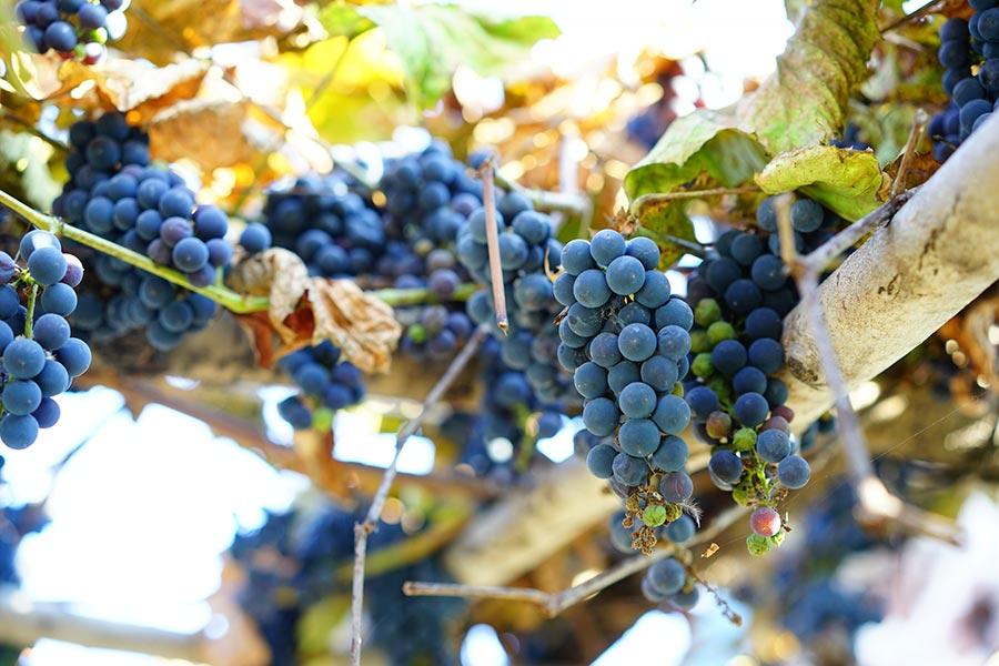 Variedades de uva más importantes en España