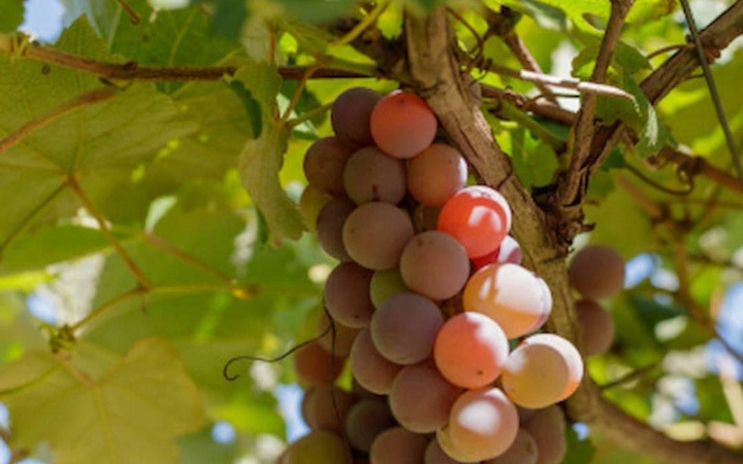 Enfermedades de la viña que afectan la cosecha
